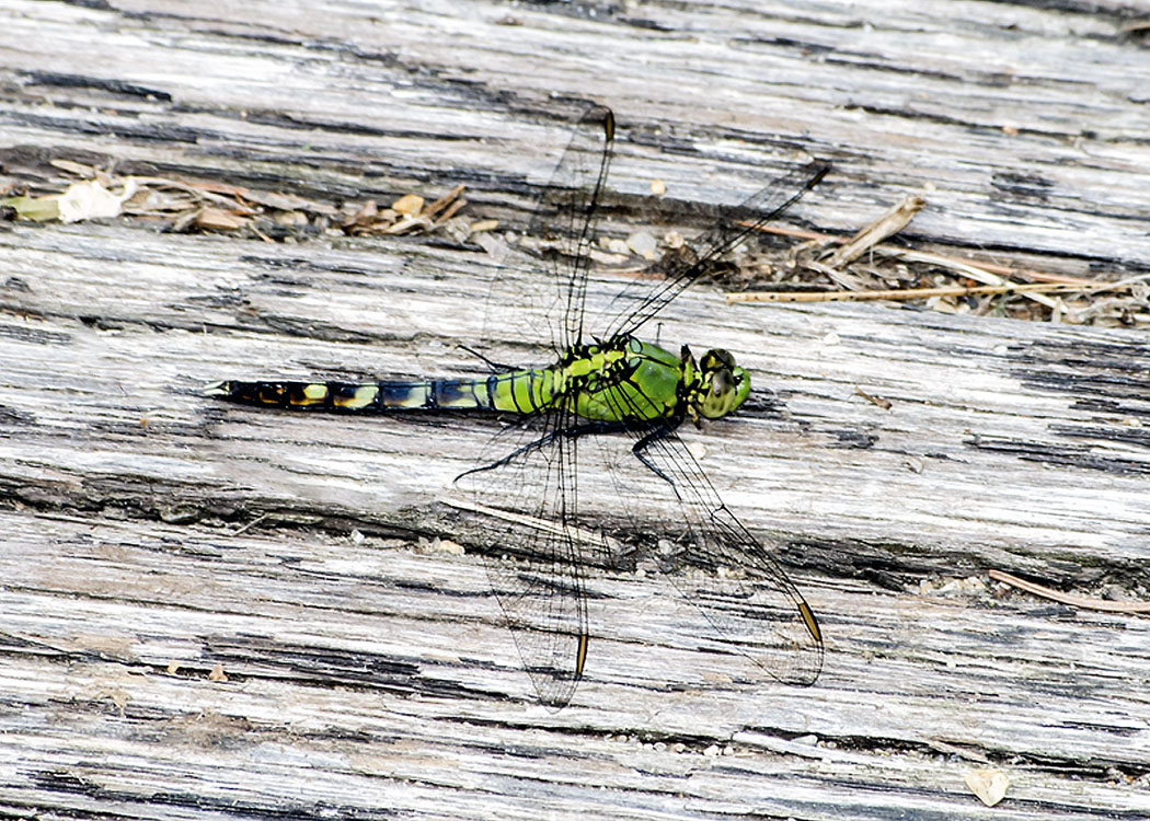 Dragonflies Of New England