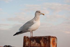 seagull Photos